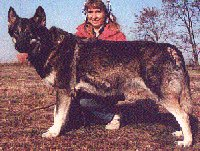 breeding females. She was Timber Wolf/German Shepherd & 165 lbs