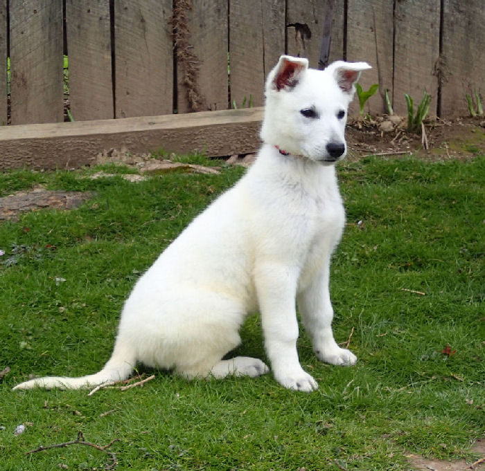 White German Shepherds for Sale