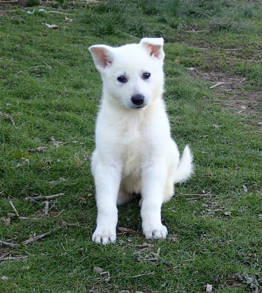 white german shepherd puppies for sale white german shepherds for sale 2053