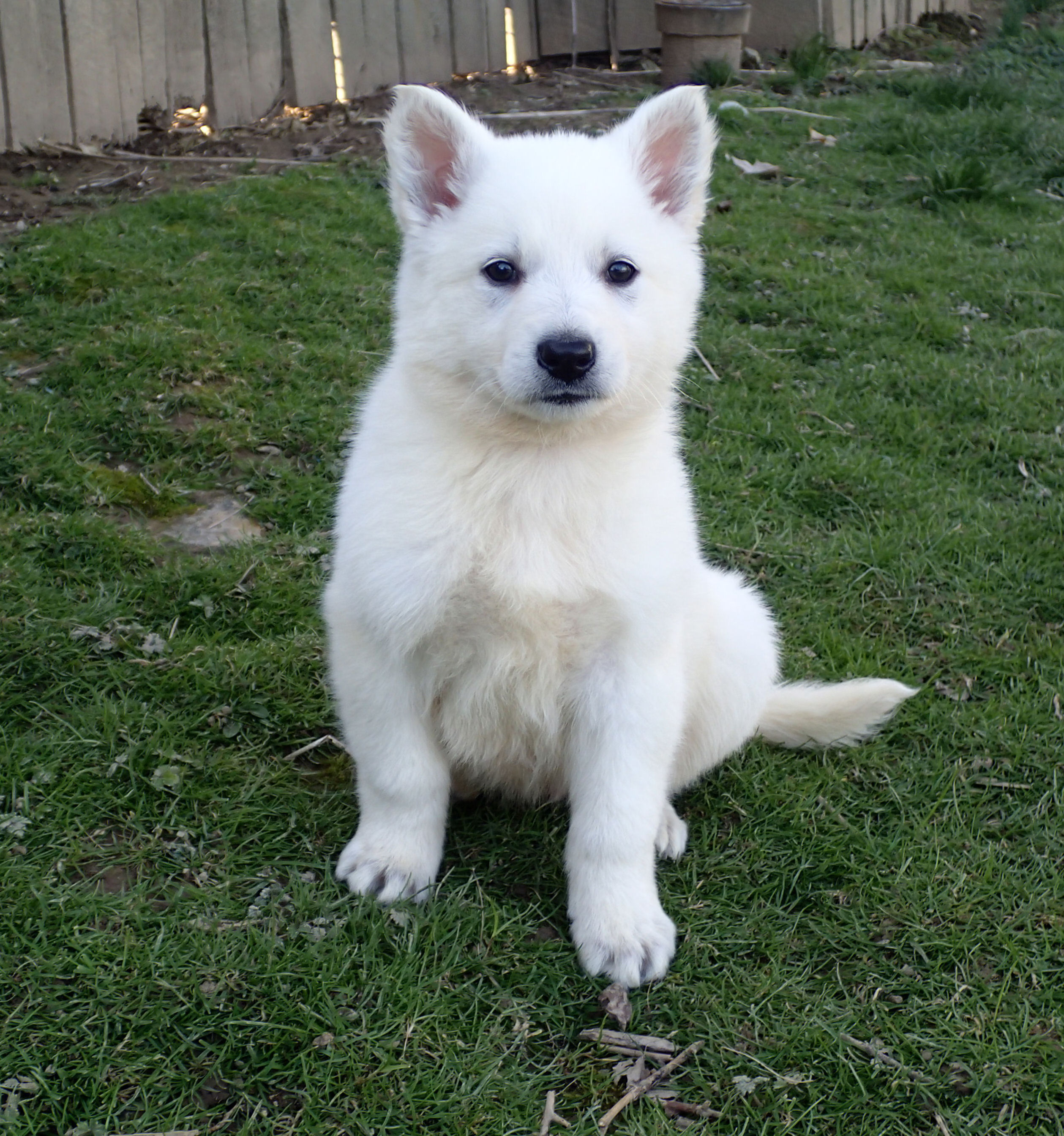 white german shepherd puppies for sale white german shepherds for sale 4806